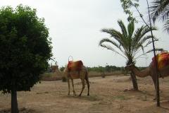 Camellos en el camino